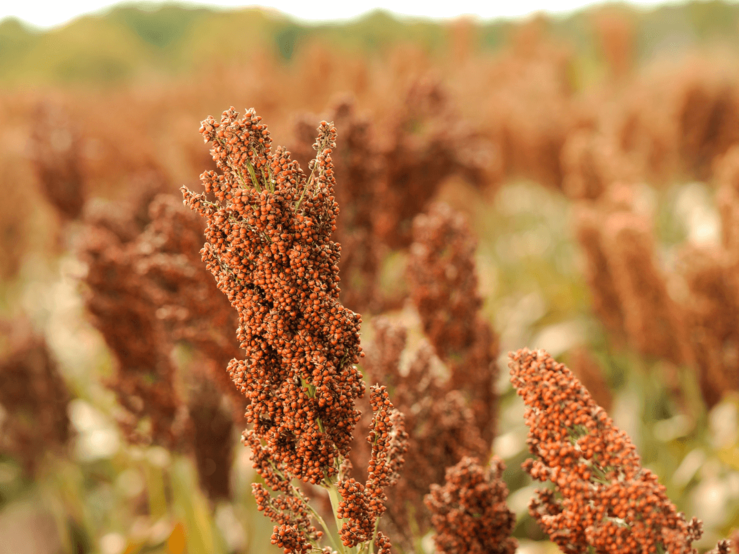Sorghum has become a trendy whole grain in recent months