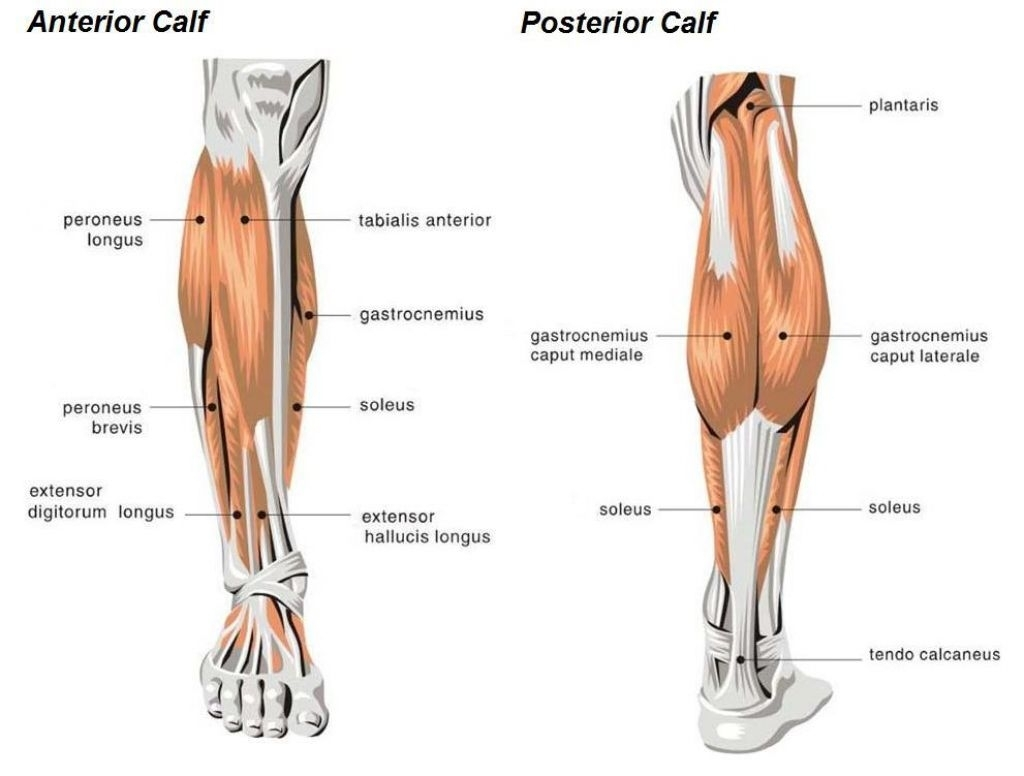 don't neglect your calf muscleshere's why working on your, Human Body